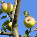 Apfel -  Foto Andrea Weinke, Gross Laasch Flexibel e.V.
