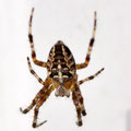 Spinne -  Foto Andrea Weinke, Gross Laasch Flexibel e.V.