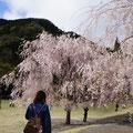 丸岡 竹田のしだれ桜
