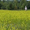 Das gelbe Senf Feld