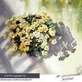 Caltha palustris / Watercolour 31x41cm Arches CP © janinaB. 2016