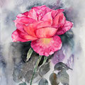 Rose VII 2016 / Watercolour 30x40cm  on Fabriano CP ©janinaB.