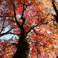 秋に真っ赤に紅葉したイロハモミジ