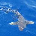 Ein Longimanus kam uns besuchen und wollte fast auf die Platform der Blue Waves springen. :-)