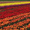 Tulpenfelder an Niederrhein