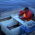 Fischverarbeitung direkt auf dem Kutter