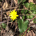 Frühlings-Scharbockskraut