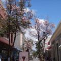 Hier ist es jetzt Frühling, die Bäume blühen