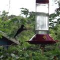 Und besuchen die Kolibri