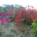 Hier blüht alles sehr schön und die Früchte sind reif