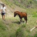 Das Pferd, verheddert sich immer wieder am Anhänger und muss befreit werden