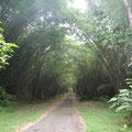 Bambookathetral