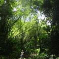 Der Bambus ist extrem hoch und dicht