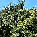 Blühende Oragenbäume duften intensiv