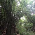 Überall riesiger Bamboo