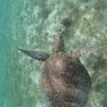 Man begegnet unzähligen Schildkröten