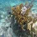 Und hier auch noch Große Korallen
