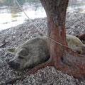 Ein Schwein schläft im Schatten