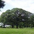 Mystisch große Bäume