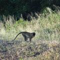 Hier trifft man auch auf die hier wild lebenden Affen