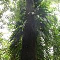 Baumriesen umwuchert von Kletterpflanzen