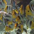 Schmetterlingsfische, wenn man sie füttert