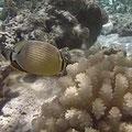 knabbern an Korallen