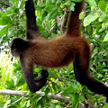 Auf der Isola Linton turnen die Affen um uns herum