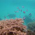 Alle verschwinden rasch zwischen den Korallen