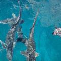 Haie kommen und fressen den Rest vom Fisch