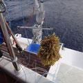 Leider fangen die Angeln reichlich Seetang