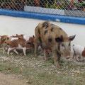 Und überall Schweinefamilien