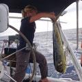 Eine Dorade landet am Grill, diese, vor Antigua ist 120 cm groß und 8,5 kg schwer