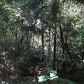 Im Urwald dann ein gut ausgetretener Pfad