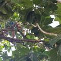 Ein Jugendlicher holt uns eine Brotfrucht runter