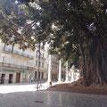 Schatten durch uralte Gummibäume