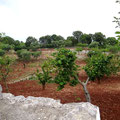 Olivenhaine mit teils sehr alten Bäumen