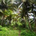 Überall Kokospalmen