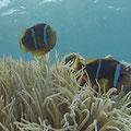 Nemos bei ihrer Anemone