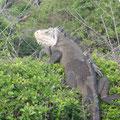 Auf der Insel leben Iguana