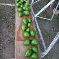 Avocadoausbeute vom Ausflug
