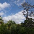 Nadelbäume neben Palmen