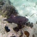 Pufferfische
