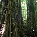 und wie Mangroven verspreizt