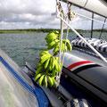 Die Bananen hängen schon zum Reifen