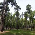 Pinienwald von El Pinar