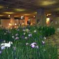 観光会館の中では花菖蒲展が開催中。