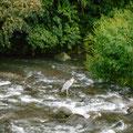サギがすくっと立っています。川を右手に歩道をずんずん進みます。