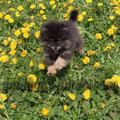 резвый щенок