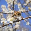 Honigbiene an einer Schlehe, Foto: Heike Walter